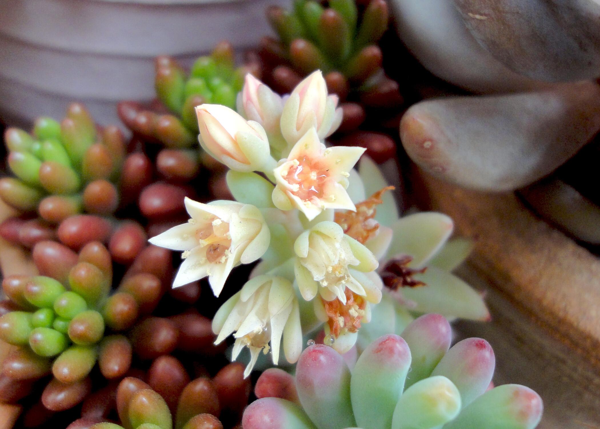 多肉植物の花が咲きました♪