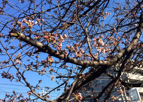 桜の開花宣言 会社のスタッフとお花見がしたい!