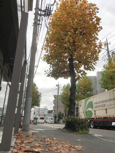 ポプラの街路樹